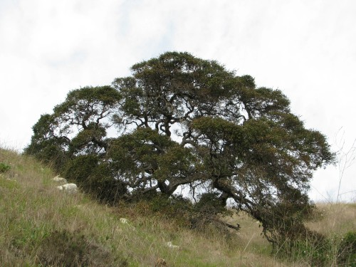 """Coast LIve Oak"" ""Santa Cruz Island"" ""Channel Islands National Park"""