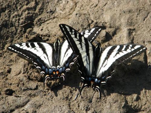 Santa Ynez Mountains Santa Barbara Day Hike San Antonio Creek butterflies
