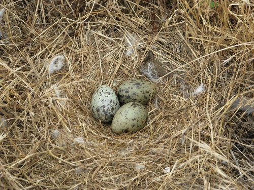 Channel Islands National Park Anacapa Island Western Gull Eggs