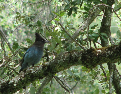 Los Padres National Forest Davy Brown Stellar's Jay