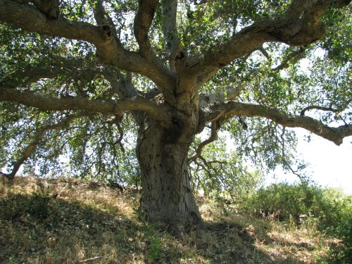 San Marcos Foothills Preserve Santa Barbara Hike Santa Ynez Mountains Oak