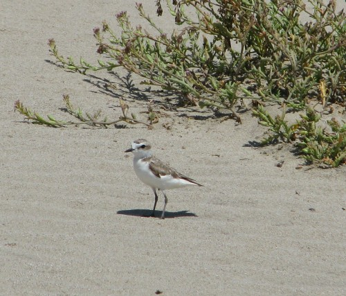 Western Snowy Plover Sands Beach Coal Oil Point Reserve UCSB Isla Vista Santa Barbara Hike