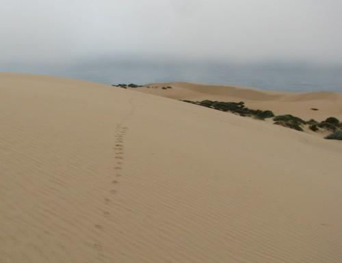 Coyote Tracks Guadalupe Dunes Hike