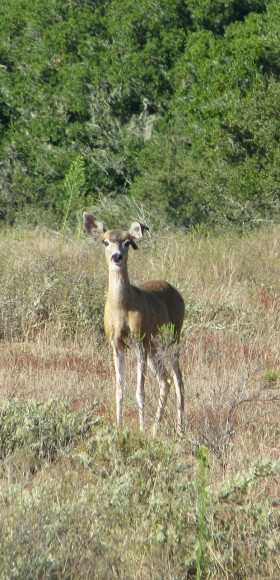La Purisima Mission Lompoc Hike Mule Deer