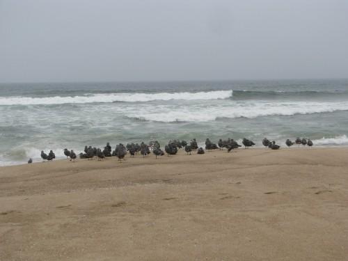 Shore Birds Guadalupe Dunes Pacific Ocean Hike