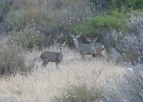 Deer Lower Oso Los Padres National Forest Santa Barbara Hike backcountry