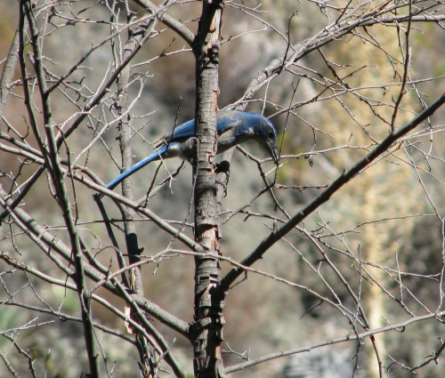 Scrub Jay Blue Canyon Trail Santa Ynez Mountains Santa Barbara Backcountry Hike