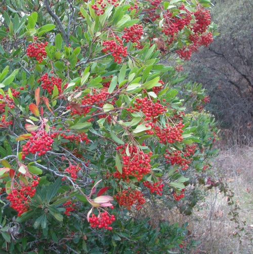 Toyon Los Padres National Forest Aliso Canyon Hike Trail