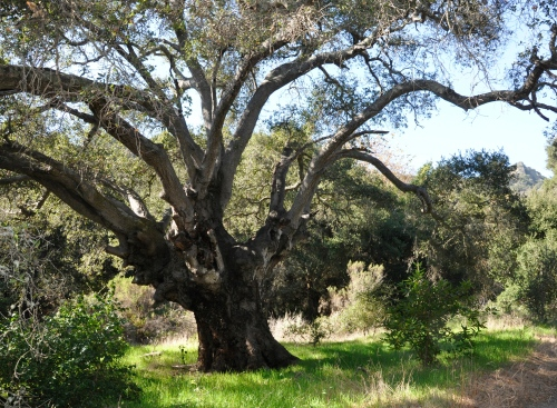 Coast LIve Oak Baron Ranch Trail Santa Barbara Hike Coast