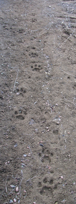 Mountain Lion Tracks Dick Smith Wilderness Indian Creek Los Padres National Forest Santa Barbara Backcountry Hike