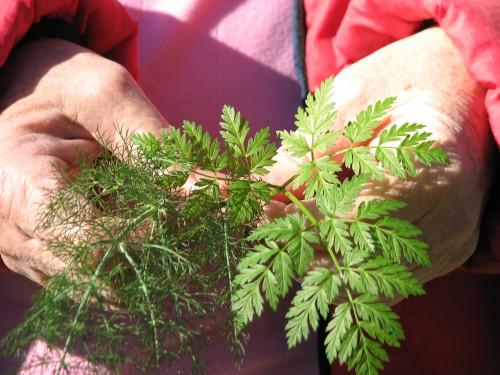 Edible Medicinal Plants Wild Licorice Poison Hemlock Santa Barbara Trail Hike