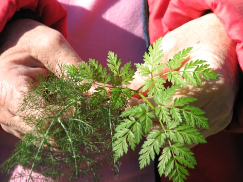 Edible Medicinal Plants Wild Licorice Poison Hemlock Santa Barbara Trail Hike