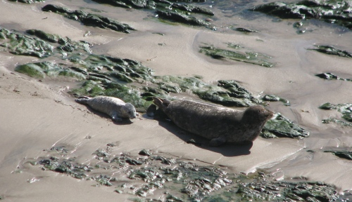 Carpinteria Bluffs Harbor Seal Rookery Santa Barbara Hike Trail