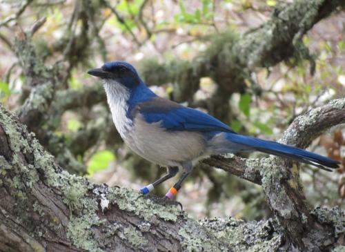 Santa Cruz Island Jay