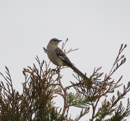 Northern Mocking Bird Eling's Park