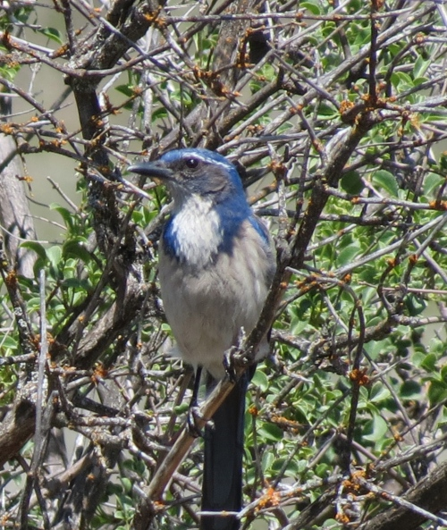 Scrub Jay Los Padres Nation Forest