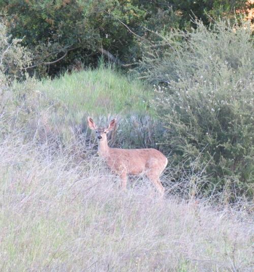 Black Tail Deer Los Padres National Forest