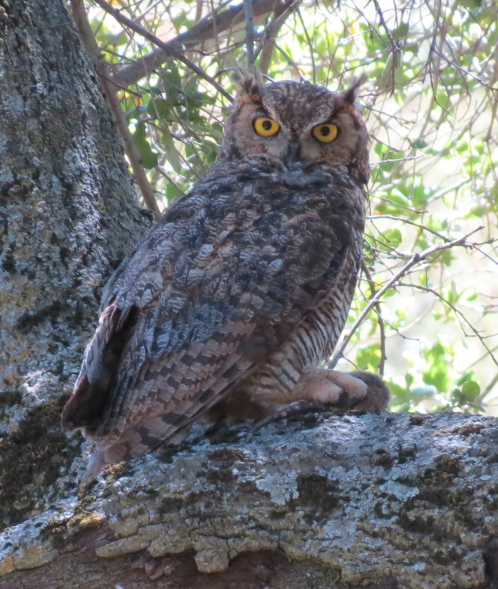 great horned owl los padres national forest la jolla trail