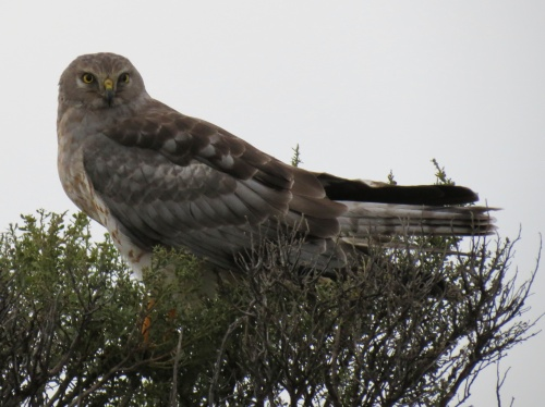 Northern Harrier More Mesa Open Space Santa Barbara Hiking trail