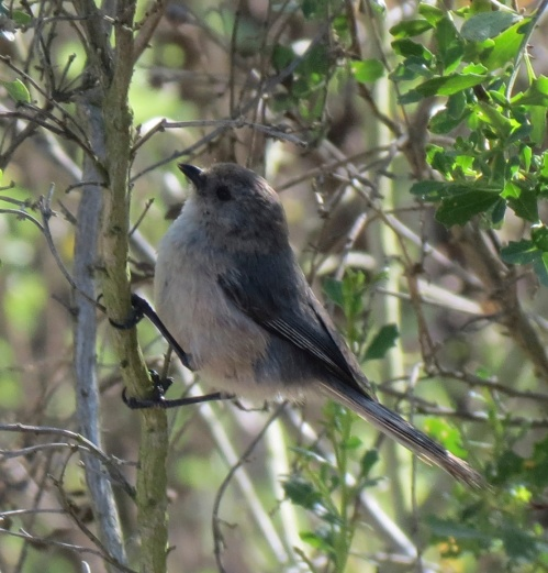 Bushtit Santa Barbara Riviera Sheffield Reservoir hike trail day