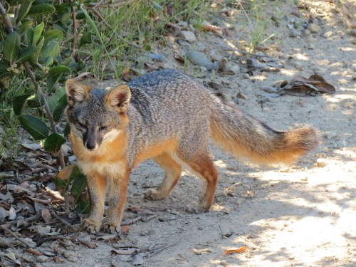 Santa Cruz Island Fox Del Norte Trail Channel hike