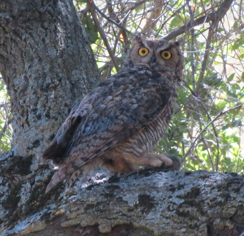La Jolla Trail Los Padres National Forest Great Horned Owl Santa Barbara hike Birabent Canyon