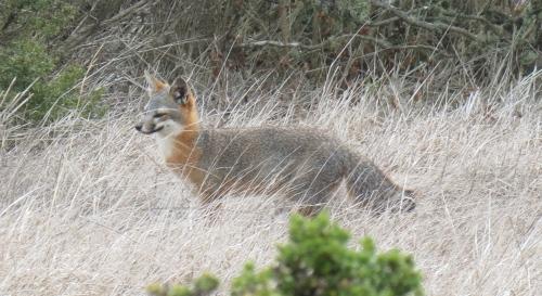 San Miguel Island Fox Channel