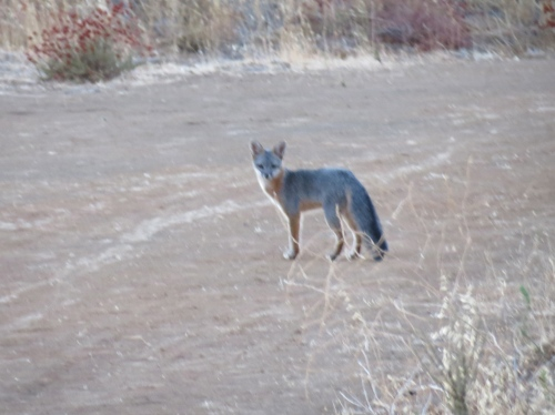 Gray Fox McKinley Fire Road Los Padres National Forest