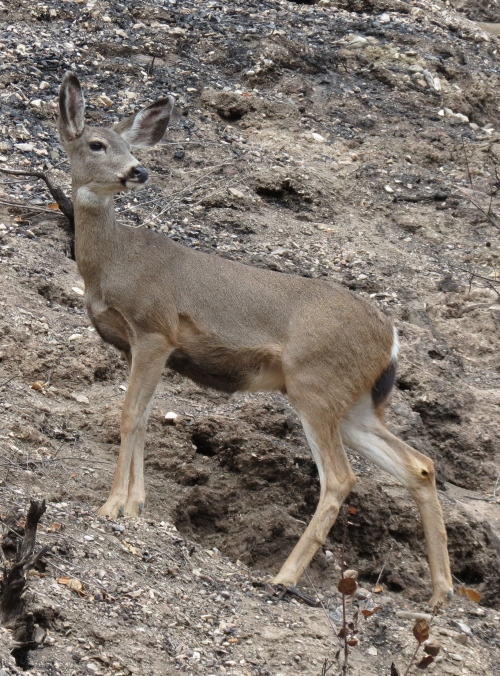 Black-tailed deer mule