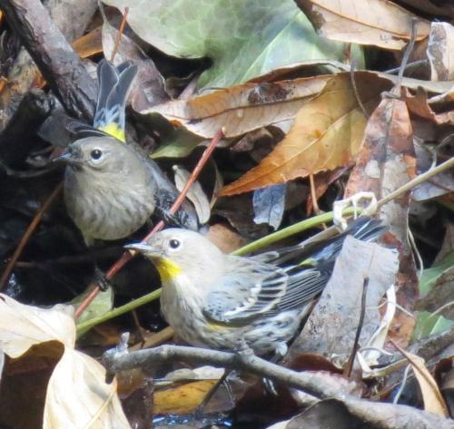 yellow-rumped warblers bird watching bird Ellwood Mesa Open Space Coronado Drive Santa Barbara Goleta trail hike