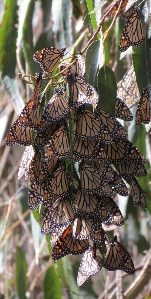 Ellwood Mesa Open Space Sperling Preserve monarch butterflies butterfly goleta santa barbara trail hike