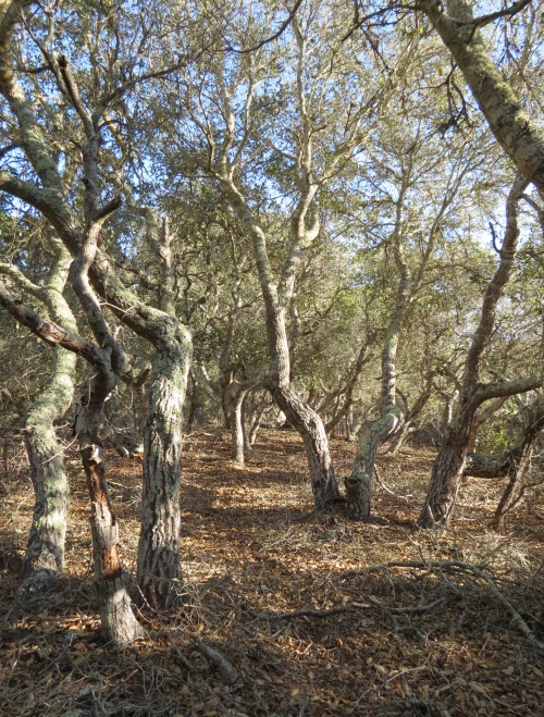Coast live oak Burton Mesa Ecological Reserve hike trails Lompoc Vandenberg Village