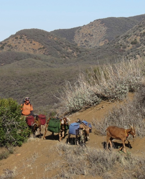 Goat packer los padres forest association volunteer trail work backcountry