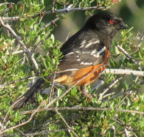 spotted towhee Horn Canyon Trail hike ojai Los Padres National Forest