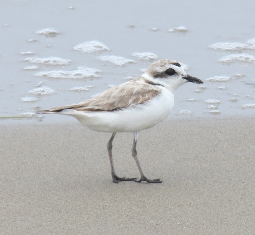 Western Snowy Plover Coal Oil Point Reserve Sands Beach