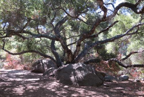 Coast Live Oak Jesusita Trail Los Padres National Forest hike Santa Barbara