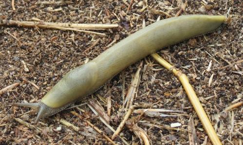 Banana Slug Santa Rosa Island Channel Island National Park