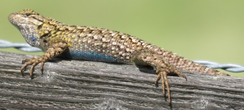 Western Fence Lizard Blue-belly