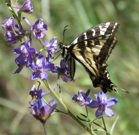 Western tiger swallowtail los padres national forest manzana creek san rafael wilderness