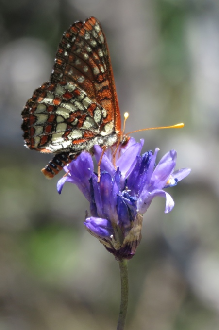 Checkerspot butterfly los padres national forest manzana creek san rafael wilderness