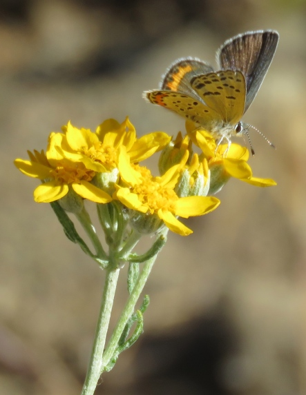 Lupine blue butterfly los padres national forest manzana creek san rafael wilderenss