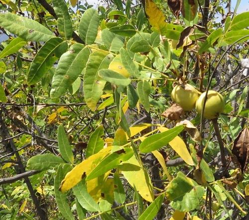 Southern California black walnut Lake Casitas Hike Trail Ojai
