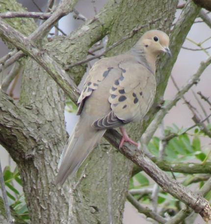 Mourning dove Santa Barbara Arroyo Burro Creek Veronica Springs Meadow