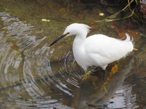white egret arroyo burro creek open space Santa Barbara