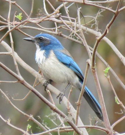 Western Scrub Jay blue veronica springs meadow santa barbara arroyo burro creek