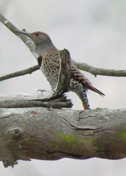 Northern Flicker arroyo burro open space creek veronica springs meadow Santa Barbara