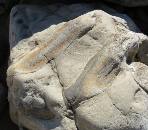 marine mammal fossils haskell's beach Susie Bartz Santa Barbara botanic garden walk hike goleta