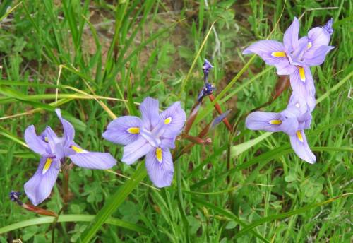 Douglas Iris Hot Springs Canyon Los Padres national forest hiking trail Montecito Santa Barbara