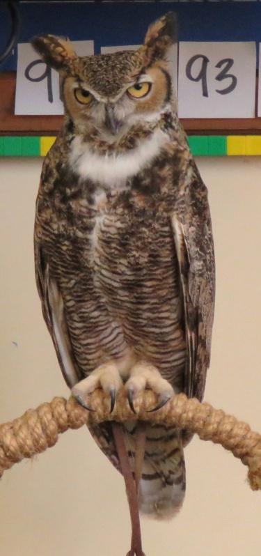 Max great horned owl Eyes in the sky meet your wild neighbor Santa Barbara audubon