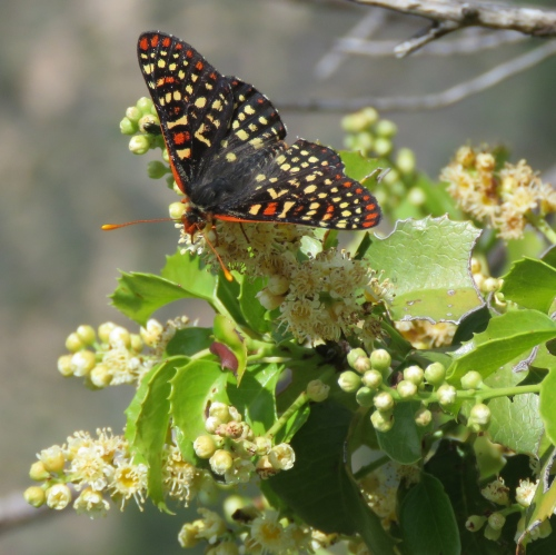 Checkerspot butterfly holly-leaf cherry Santa Cruz Trail Los Padres National Forest